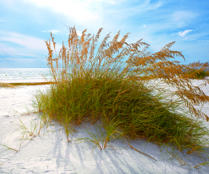 Sea oats and sand dunes on the Gulf Coast in Northwest Florida
