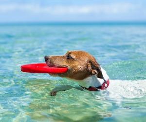 dog swimming at the Florida Gulf Coast.